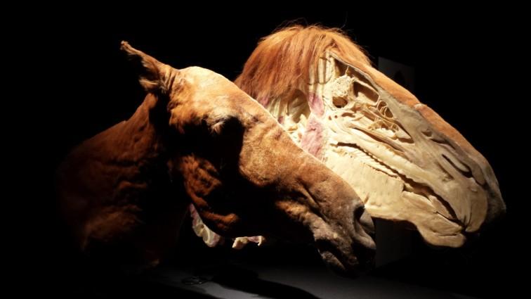 Body-Worlds-Animals-Exhibits-1
